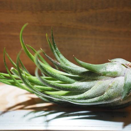 チランジア / プルイノーサ × セレリアナ (T.pruinosa × T.seleriana) *A01/Apr17