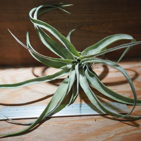 チランジア / ストレプトフィラ S (T.streptophylla) *A01/Jun22-02