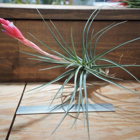 チランジア / アエラントス アルボフローラ 花芽株 (T.aeranthos 'Albo-Flora') *A01/Apr12