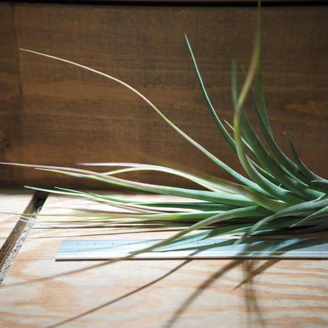 チランジア / ポリタ (T.polita) *A01/Apr04