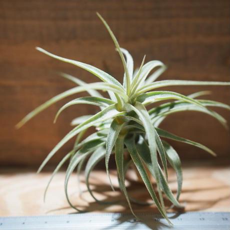 チランジア / ラティフォリア (T.latifolia) *A01/Jul11