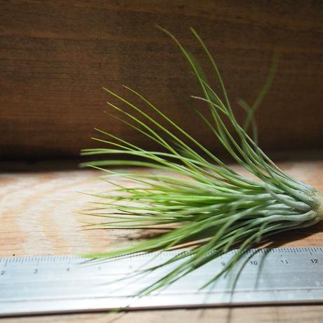 チランジア / アンドレアナ × フンキアナ (T.andreana × T.funkiana) ★タイ農場 *A01/Nov18