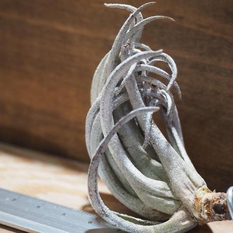 チランジア / カルミネア (T.carminea) *A01/Mar18