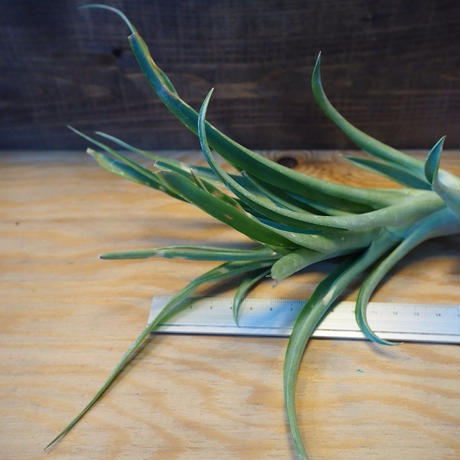 チランジア / カピタータ グリーン (T.capitata 'Green') *A02/Ju27