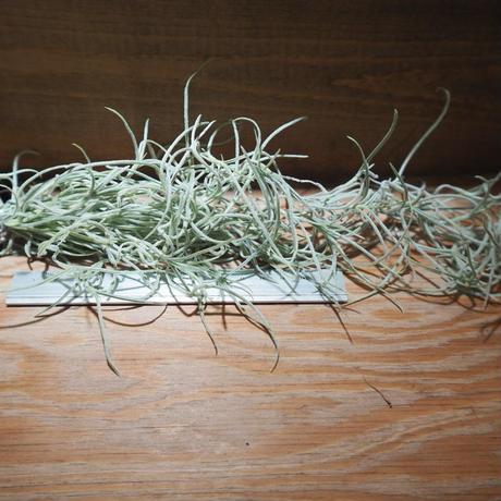 チランジア / ウスネオイデス 太葉 (T.usneoides) *A01/Mar28-02