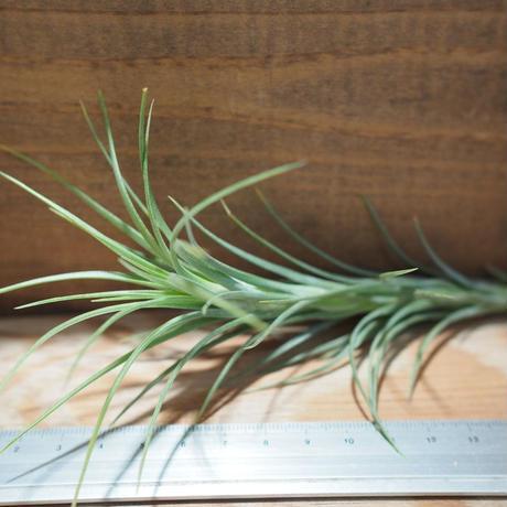 チランジア / アラウジェイ クローズフォーム (T.araujei Closed Form) *A01/Apr12