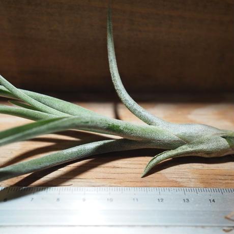 チランジア / アリザジュリアエ × プルイノーサ (T.ariza-juliae × T.pruinosa) *A01/Apr18