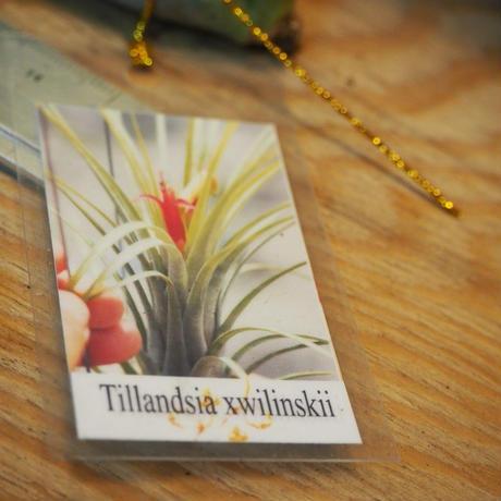 チランジア / ウィリンスキー (T.'Xwilinskii') *A01/Dec18