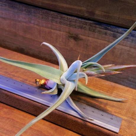 チランジア / クシフィオイデス トメントセ ※花芽付き (T.xiphioides 'Tomentose')