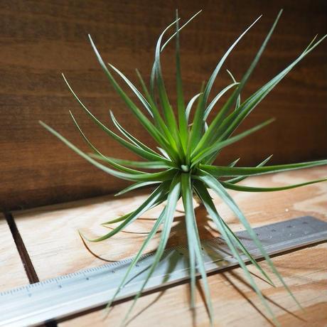チランジア / ストリクタ × テヌイフォリア (T.stricta × T.tenuifolia) *A01/Apr11