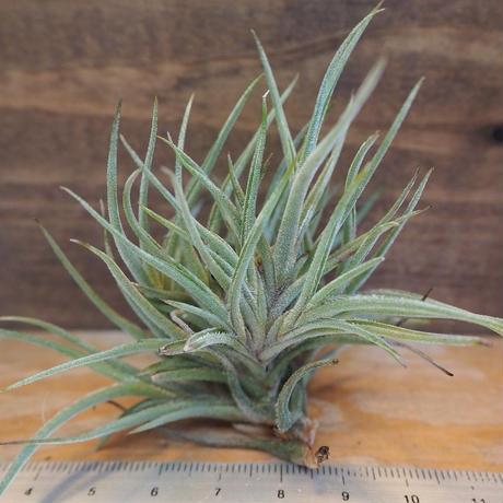 チランジア / バンデンシス (T.bandensis) *A02/Se19