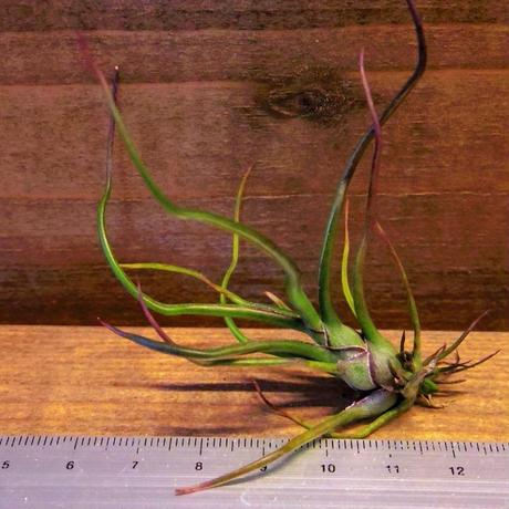 チランジア / ブルボーサ ミニブラジル (T.bulbosa 'Mini Brazil')