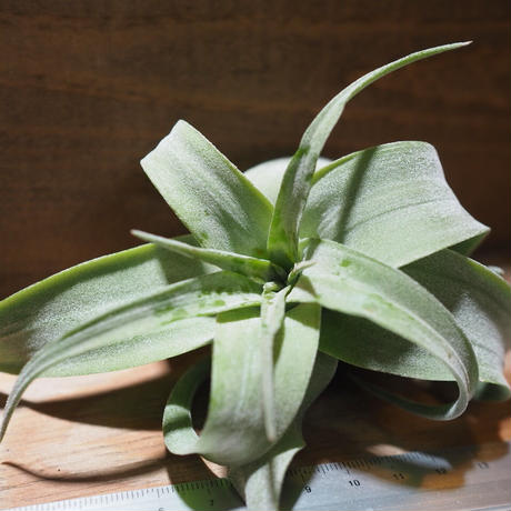 チランジア / ストレプトフィラ M (T.streptophylla) *A01/Jun22-02