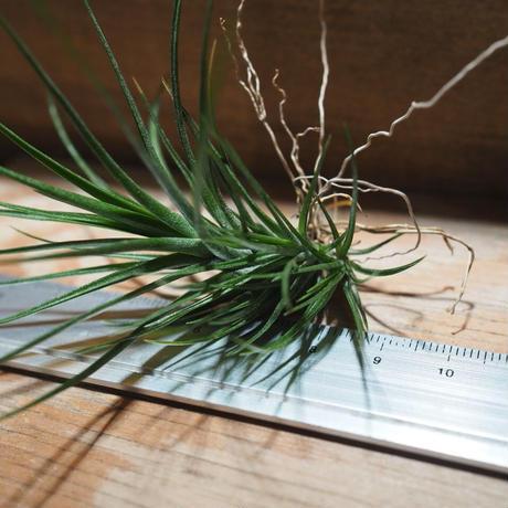 チランジア / カウレッセンス S (T.caulescens) *A01/Apr15