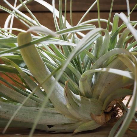 チランジア / キセログラフィカ × カピタータ クレステッド (T.xerographica × T.capitata Crested) *A01/Jun30