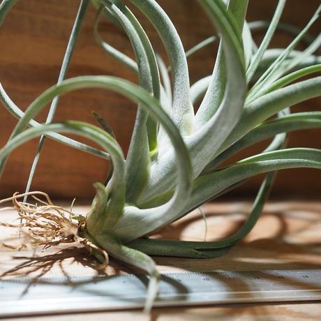 チランジア / パウシフォリア × ストレプトフィラ (T.paucifolia × T.streptophylla) *A01/Dec26