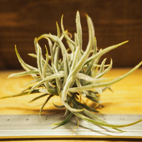 チランジア / クロカータ CL (T.crocata) *A02/Ju30