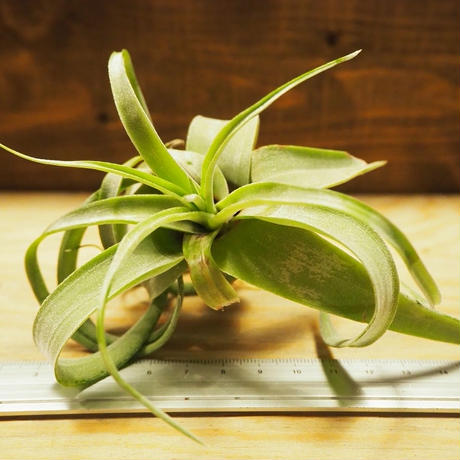 チランジア / ストレプトフィラ M (T.streptophylla) *A02/Se01