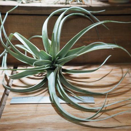 チランジア / キセログラフィカ × コンコロール (T.xerographica × T.concolor) *A01/Apr18