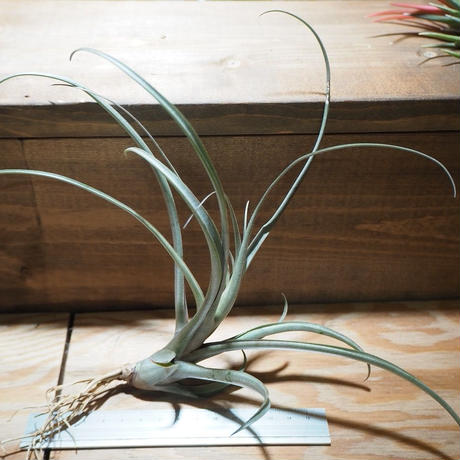チランジア / ミカンス (T.micans) *A01/Apr10