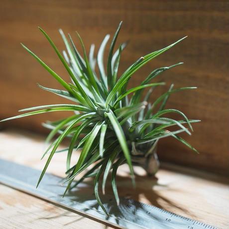 チランジア / テヌイフォリア パープルファン (T.tenuifolia 'Purple Fan') *A01/Jan10