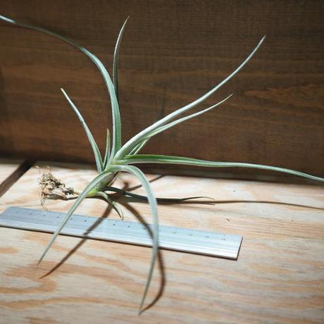 チランジア / カリギノーサ × クロカータ (T.caliginosa × T.crocata) *A01/Apr17