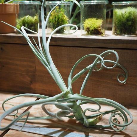 チランジア / デュラティ シックリーフ (T.duratii 'Thick Leaf') *A01/Aug01