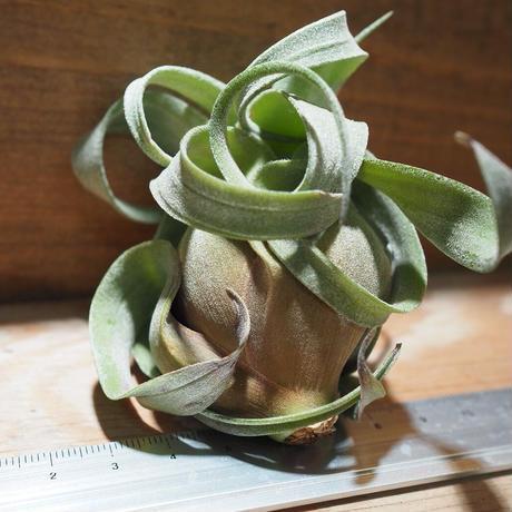 チランジア / ストレプトフィラ S (T.streptophylla) *A01/Nov29-01