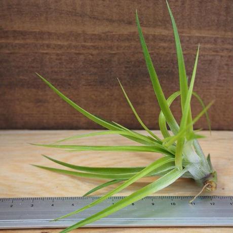 チランジア / ストリクタ (T.stricta) *A02/J21