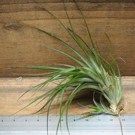 チランジア / テヌイフォリア アメシスト Mサイズ (T.tenuifolia var. amethyst)