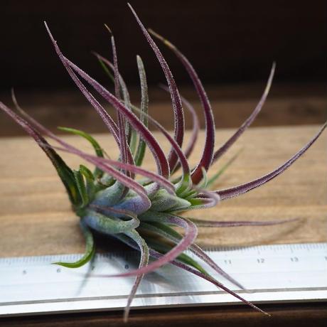 チランジア / プルイノーサ × コルビー (T.pruinosa × T.kolbii) No-02