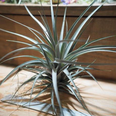 チランジア / ヴェルニコーサ パープルジャイアント (T.vernicosa 'Purple Giant') *A01/Jun22