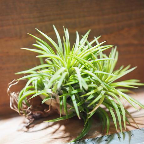 チランジア / イオナンタ ウアメルラ CL (T.ionantha huemulata) ★タイ農場 *A01/Jun22
