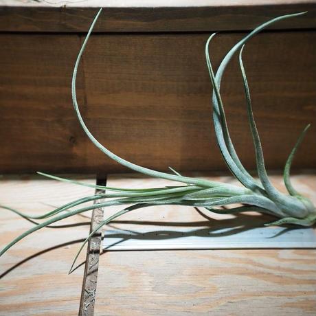 チランジア / カプトメドーサ × プセウドベイレイ (T.caput-medusae × T.pseudobaileyi) *A01/Dec26