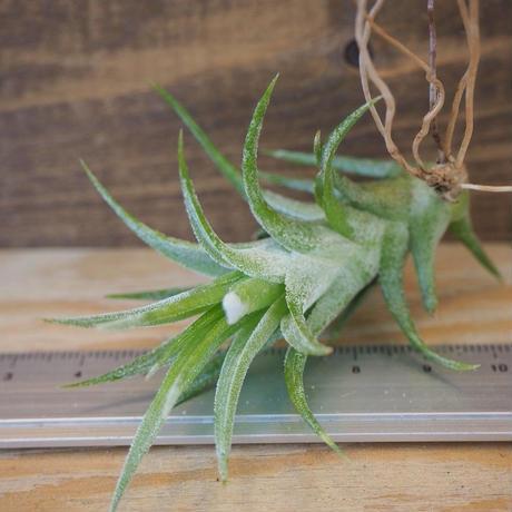 チランジア / イオナンタ ヴァンハイニンギー S (T.ionantha var. vanhyningii) *B02/Au12
