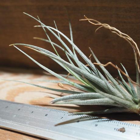 チランジア / ヴェルニコーサ ハイブリッド (T.vernicosa Hybrid) *A01/ May01