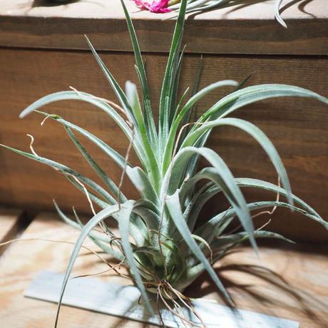 チランジア / チアペンシス × ベルティナ (T.chiapensis × T.velutina) *A01/Jul11