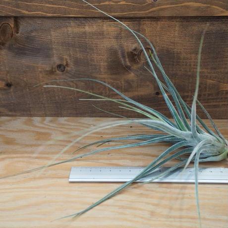 チランジア / エーレルシアナ XL (T.ehlersiana) *A02/Au31