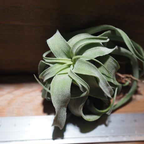 チランジア / ストレプトフィラ M (T.streptophylla)  ★タイ農場 *A01/Feb20-01