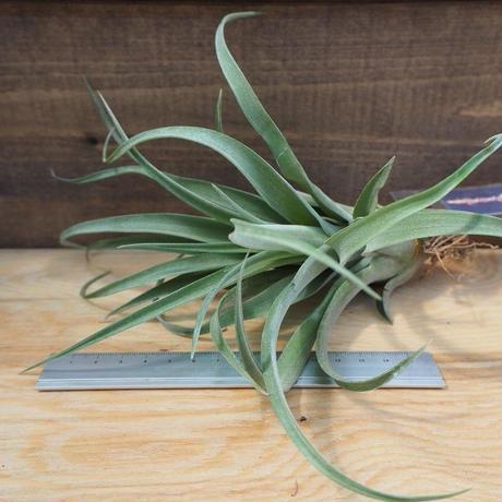 チランジア / カピタータ オレンジ × ストレプトフィラ (T.capitata 'Orange' × T.streptophylla) *A02/J21
