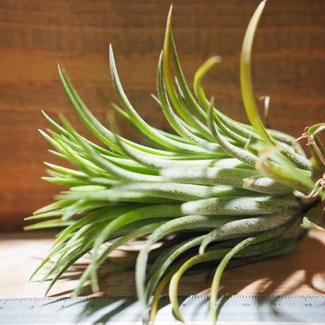 チランジア / イオナンタ カーリージャイアント XL (T.ionantha 'Curly Giant') *A01/Nov22