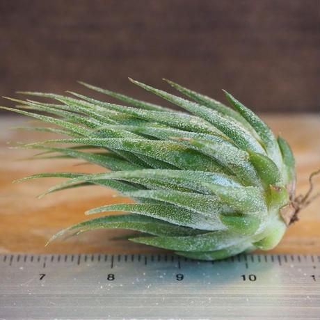 チランジア / イオナンタ ヘーゼルナッツ (T.ionantha 'Hezel Nut') *A02/Se19