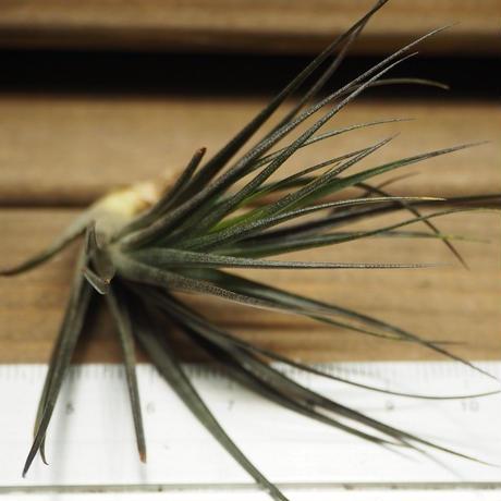 チランジア / テヌイフォリア アメシスト 漆黒 (T.tenuifolia var. amethyst)