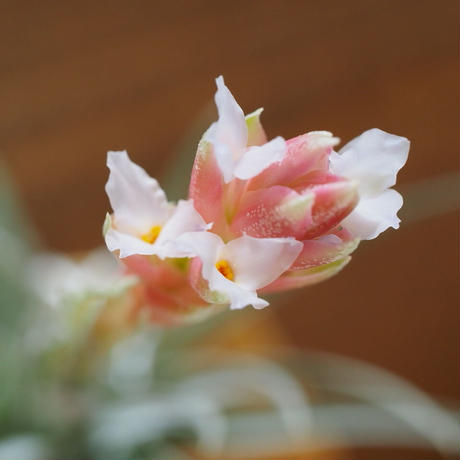 チランジア / ストリクタ コンフェチ (T.stricta 'Confetti') *A01/Apr18