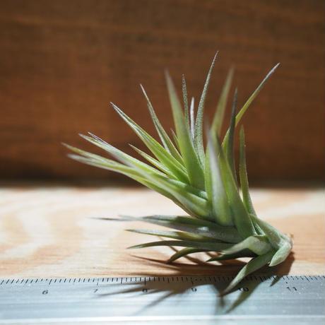 チランジア / アエラントス ブロンズ M (T.aeranthos 'Bronze') *A01/Apr25