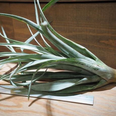 チランジア / カピタータ オレンジ (T.capitata 'Orange') *A01/Feb17