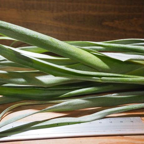 チランジア / アンプラ (T.ampla) *A01/Apr4