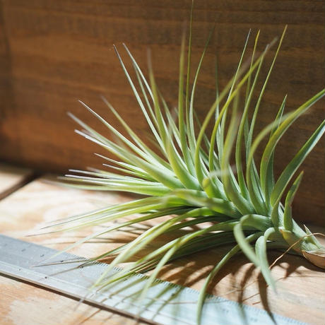 チランジア / ストリクタ ピンクブロンズ (T.stricta 'Pink Bronze')  *A01/Feb01