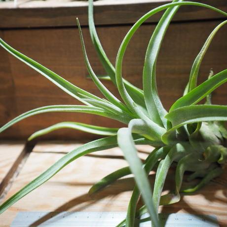 チランジア / ストレプトフィラ XL (T.streptophylla) *A01/Jun22-01