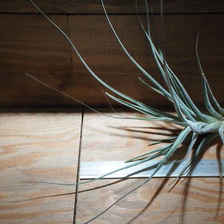チランジア / エーレルシアナ XL (T.ehlersiana) *A02/Mar19